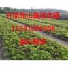 东北绿化小苗暴马丁香、紫叶小檗、紫丁香