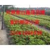 供紫叶稠李、密枝红叶李、金叶复叶槭