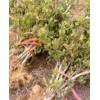 九丰一号、响水一号、树形四季金银花苗木供应