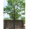 基地低价直供2-50公分银杏树