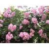定州市春源苗圃供应蔷薇