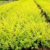 春源苗圃供应水蜡.金叶水蜡