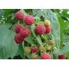 黑龙江省树莓苗木基地供应树莓苗黑加仑苗木草莓苗
