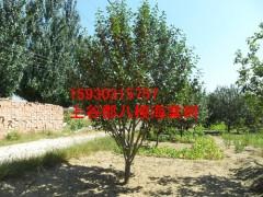 求购八棱海棠树造型树