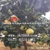 树径3-4公分红肉蜜柚苗厂家直销 价格最优