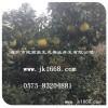 2014年正宗红肉蜜柚苗厂家批发