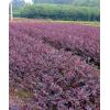湖南绿化苗木花木造型红花继木 红花继木小苗 红花继木球