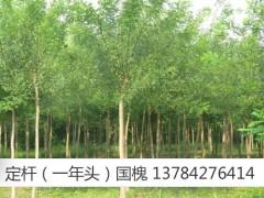 求购国槐 榆树
