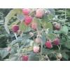 出售占地树莓苗黑加仑苗