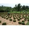 草坪,低价供应绿化草坪,马尼拉,天堂等13775528172
