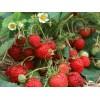 出售黑龙江省草莓苗哈尔滨市草莓苗