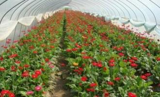 余启国:非洲菊年收入10多万元