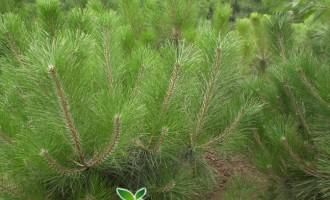樟子松栽培技术:樟子松选中和育苗
