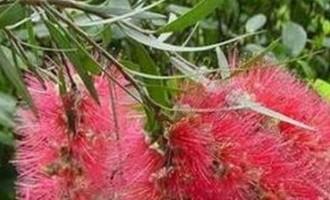 红千层的繁殖与扦插办法
