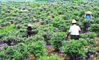 新邵县:美丽产业致富路,浪漫玫瑰乐移民