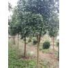 常年供1-30公分江苏香橼树,1年生香橼苗1元/棵起售,