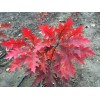 猩红栎美国红栎美国红橡树青岛抬头园林彩色大乔木