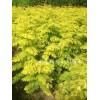金叶水杉苗、金叶水杉价格