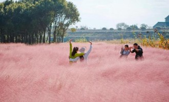 上海金山区:一片粉色田野在微信圈走红