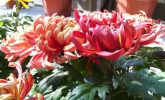 天水市秦州区:2015年菊花展在人民公园开展