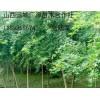 3公分五角枫树大量低价出售