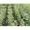 杜梨苗低价出售杜梨种子低价供应