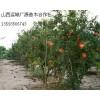 5、6公分石榴树低价优惠供应