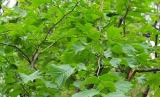 裂叶榆播种和嫁接
