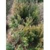 处理红豆杉小苗、50万高20-100的红豆杉处理
