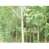 供应江苏南京马褂木等多种绿化苗木