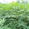 大红袍花椒苗,花椒苗产地,出售花椒树苗,花椒树批发价