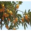 甜柿苗,板栗苗,山楂苗,木瓜苗,日本甜柿苗,石榴苗