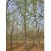 专业供应0-60公分银杏树,价格优惠