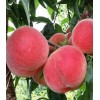 四川桃树苗品种,四川桃树苗特点,四川桃树苗价格