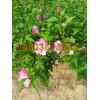 大量供应木槿苗、钙果苗、连翘苗、花椒苗等绿化苗木