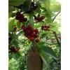 结果早首选樱桃树苗,核桃树苗,北美海棠,红叶李树红灯樱桃苗