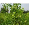 文冠果种植前景,文冠果树苗多少钱,文冠果价格,文冠果结果