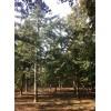 2017年秋季银杏树价格,苗圃现挖、树形优美、质量保证