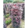 红花继木柱型、球型,红花檵木造型,电话13507665695