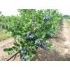 出售优质蓝靛果苗、树莓苗、黑加仑树苗、紫莓苗、灯笼果苗