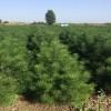 最新2米白皮松价格2米白皮松占地树2米白皮松精品树2米白皮松
