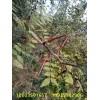 皂角树树苗,大皂角树价格,皂角种子,皂角树报价,皂角苗价格