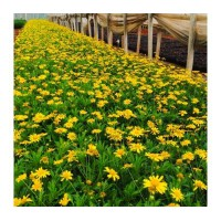木春菊基地 成都各种时令草花批发基地 木春菊工程绿化苗子基地