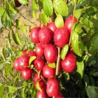 山西农大钙果树苗多少钱一棵,钙果苗-钙果树苗种植技术