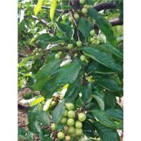 樱桃树苗,樱桃结果早,成型快,效益好樱桃果树苗