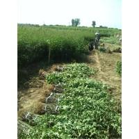 花椒小苗,旱地种植花椒树苗 ,花椒什么品种好