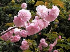 复瓣大红樱花—台湾牡丹樱水肥管理技术