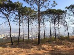 泸山植被恢复在行动 106亩五小叶槭已经种下