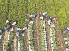 """安徽来安:""""一村一品""""助农增收"""